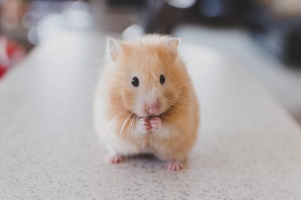 mo thay chuot 1 - Nằm mơ thấy chuột là điềm báo gì? Đánh con gì?