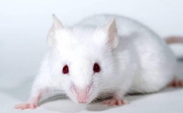 mo thay chuot 5 - Nằm mơ thấy chuột là điềm báo gì? Đánh con gì?