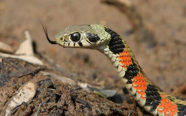 mo thay ran 5 - Nằm mơ thấy rắn là điềm báo gì? Đánh con gì?