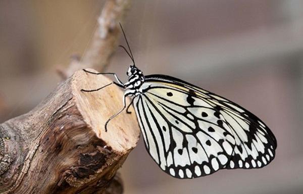 mo thay buom 1 - Nằm mơ thấy bướm là điềm báo gì? Đánh con gì?