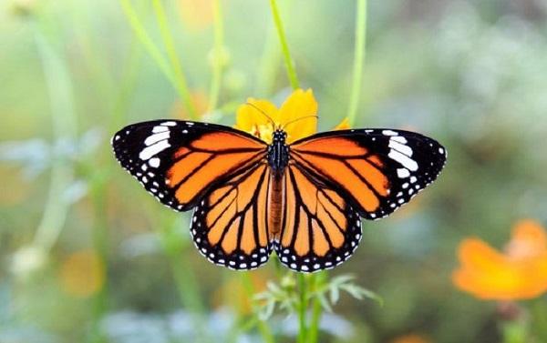 mo thay buom 2 - Nằm mơ thấy bướm là điềm báo gì? Đánh con gì?