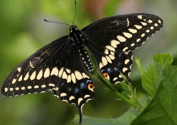 mo thay buom 3 - Nằm mơ thấy bướm là điềm báo gì? Đánh con gì?