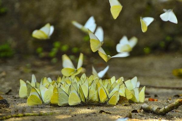 mo thay buom 6 - Nằm mơ thấy bướm là điềm báo gì? Đánh con gì?
